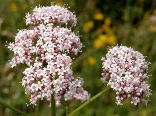 Valeriana.officinalis